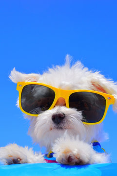 dog with sunglasses on blue background