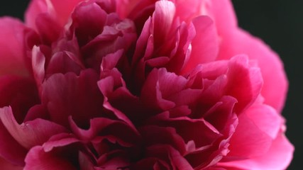 Fotoväggar - Beautiful dark purple peony flower open on black background. Blooming red peony flowers opening closeup. Blossom closeup. Timelapse 4K UHD video footage. 3840X2160