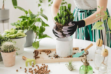 Female gardener transplanting cacti