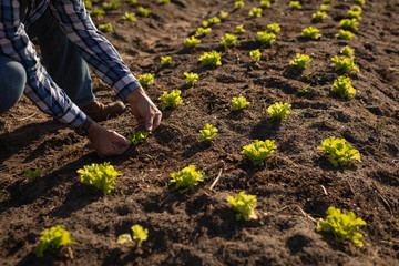Senior male farmer planting the radish plant in the field