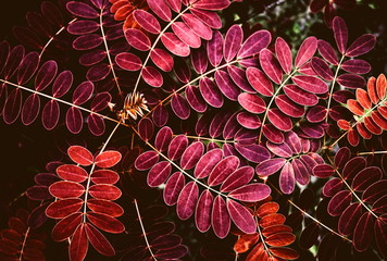 Closeup red leaves pattern on the leaf stalk from the buds on tree in the forest