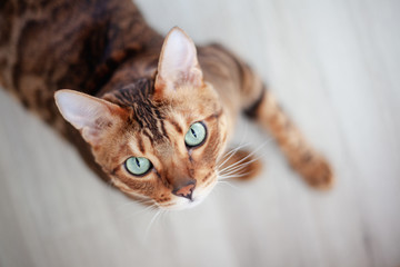 Beautiful red Bengal cat with bright green eyes, sitting on the floor, shot from above