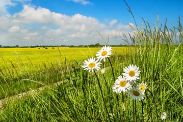 Obraz polne kwiaty i pole rzepaku, piękny krajobraz - fototapety do salonu