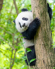 A cute little panda is climbing a tree trunk