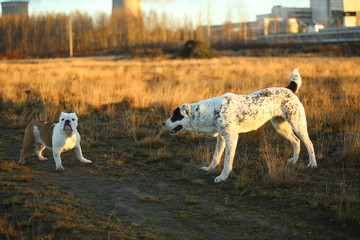 Papiers peints Chasse Two dogs at walk on autumn field at dawn