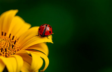 Close-up of ladybug on the yellow flower