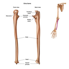 The structure of the ulna bone with the name and description of all sites. Back and front view. Human anatomy.
