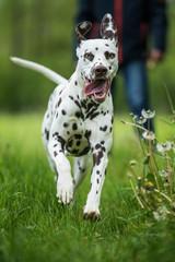 Running dalmatian dog runs away