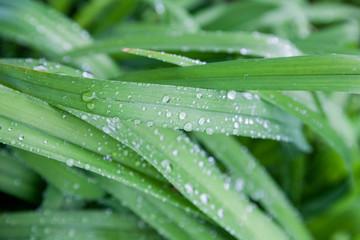 Rain drops on green foliage in garden at spring morning