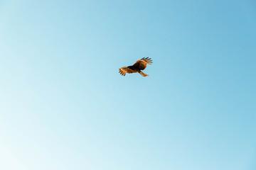 空を舞うトンビ