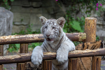 baby white tiger cub posing in zoo