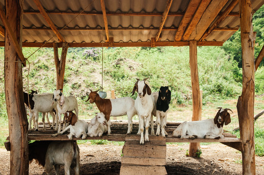 Group of milk goat with stupid cute face in rural farm