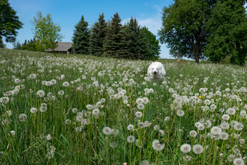 field of wild flowers and a dog