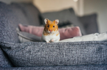 Ginger and white hamster explores living room indoors