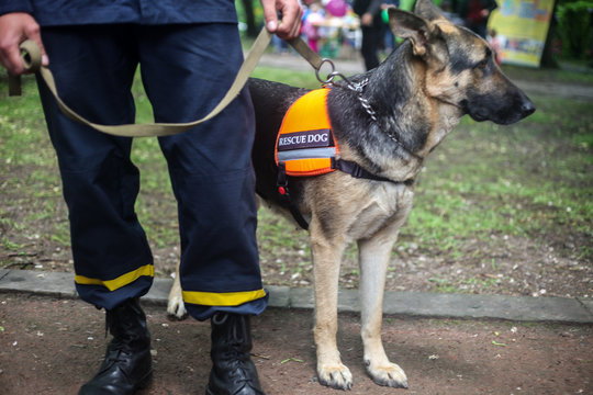 Rescue dog German Shepherd with a rescuer in the city street