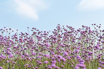 blooming purple verbena background