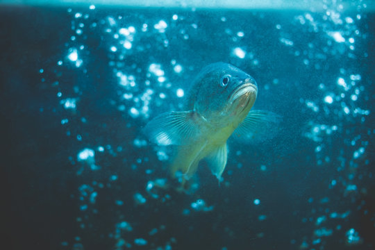 The fish are swimming in the blue water and filled with bubbles.