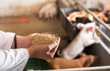 Veterinarian giving granules to piglets