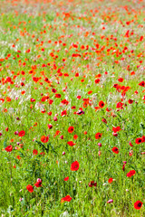 meadow with poppies, Provence, France