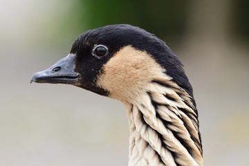 Head shot of a Hawaiian goose (branta sandvicensis)