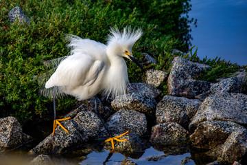 Snowy egret at the marsh