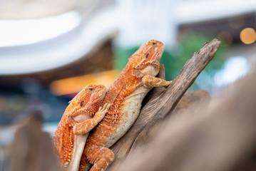 image of Bearded Dragon (Pogona vitticeps) on wood.