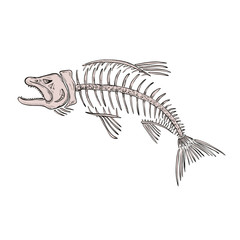 Drawing sketch style illustration of a skeletal system or skeleton of  king salmon or trout viewed from side on isolated white background.
