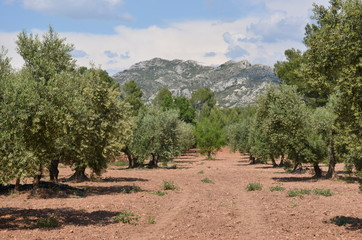 Photo sur Toile Oliviers Oliviers, Provence, France. Massif des Alpilles