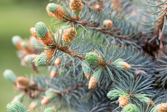 Macro photo of Picea Pungens 'Glauca',  Blue Spruce Buds at the beginning of spring