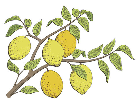 Lemon fruit graphic branch color isolated sketch illustration vector
