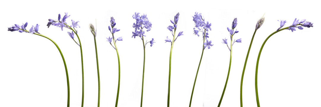 A collection of real bluebell flowers isolated on a white background
