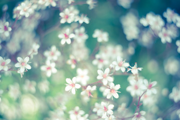 Baby's breath or Gypsophila is beautiful flower in the carnation family on blurred floral nature backgrounds. Toned vintage photo