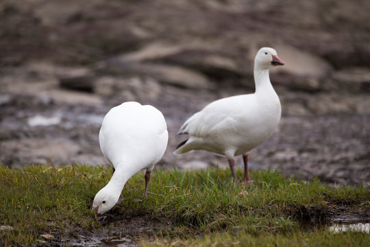 White-morph snow goose foraging greedily in muddy beach next to other bird standing proudly on the north shore of the St. Lawrence River during the spring migration, Quebec City, Quebec, Canada