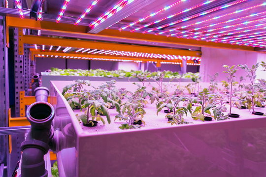 Tomato young plants grow in aquaponics system combining fish aquaculture with hydroponics, cultivating plants in water under artificial lighting