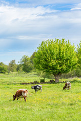 Dairy cows on a rural summer meadow with pollarded trees