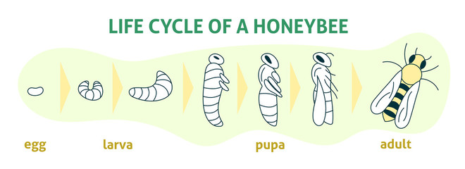 Life Cycle of a Honey Bee. Vector flat modern illustration. Biology infographic. Honey organic business production process.