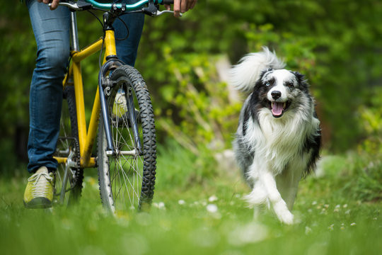 Bicycle with border collie dog