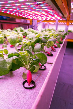 Radish plants grown in aquaponics system combining fish aquaculture with hydroponics, cultivating plants in water under artificial lighting