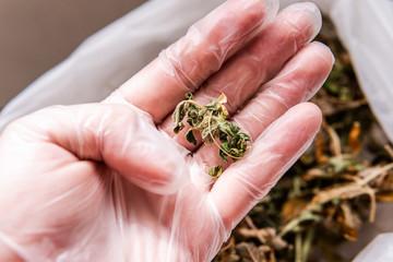 dried marijuana leaves close-up