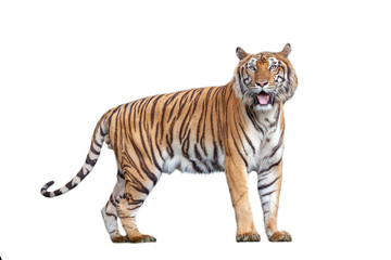 Photo sur Aluminium Tigre Tiger action in the nature.
