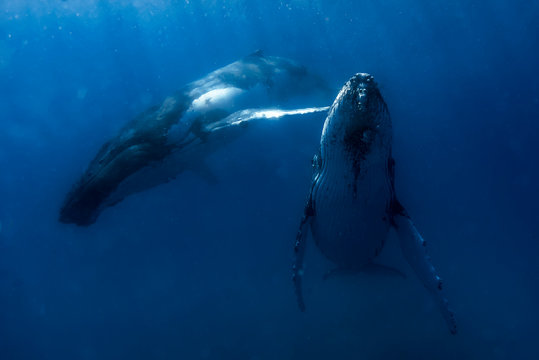 Beautiful humpback whales migrating in clear water
