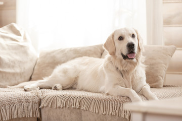 Cute big white dog lies on a sofa in a cozy country house and looks into the camera. Concept of happy pets