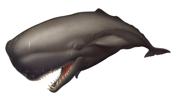 Big sperm whale realistic illustration isolated. Huge Sperm whale with open mouth and large, sharp teeth.