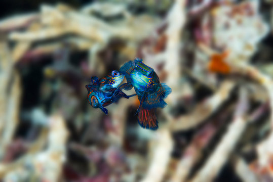 A pair of mandarin fish mating close up of face