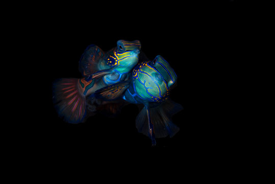 A pair of mandarin fish mating with black background
