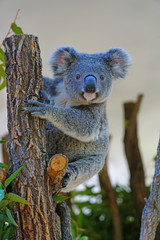 Wall Murals Koala A koala on a eucalyptus gum tree in Australia
