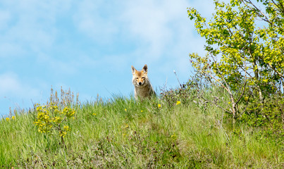 picture of a mother coyote on the lookout, while I'm taking pictures of her pups, Calgary, Alberta, Canada.