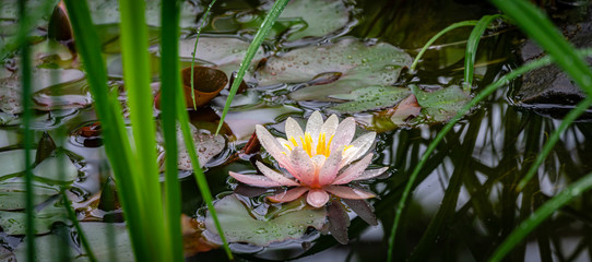 Keuken foto achterwand Waterlelies View on pink lily through blurry green leaves. Beautiful water lily or lotus flower Marliacea Rosea in old pond. Petals of Nymphaea covered with raindrops. Selective focus. Nature concept for design