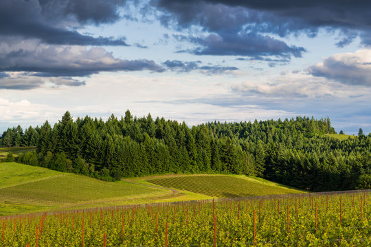 The golden light of sunset illuminates a landscape of vineyards contrasted with lush, green forest in Oregon's Willamette Valley wine country