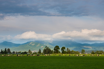 A herd of dairy cattle spotlighted by the setting sun grazing in a green pasture near Tillamook, Oregon